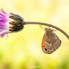 Coenonympha Pamphilus – FOTO DESTACADA