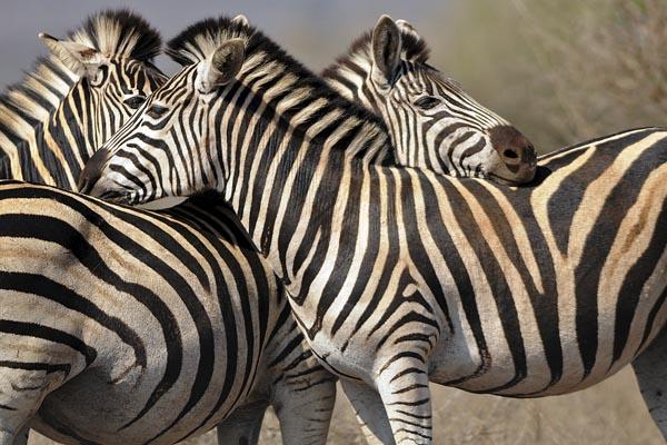 Equus zebra Kruger NP Albert Masó