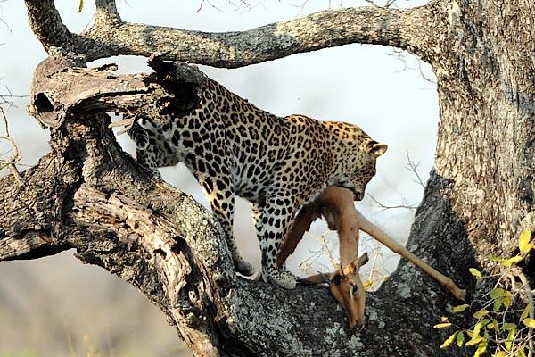 Leopardocomiendoimpala