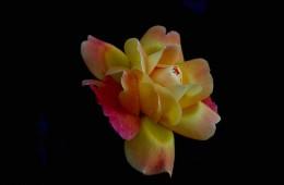 Una rosa con fondo oscuro