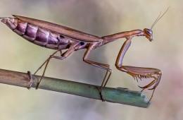 Mantis Parda